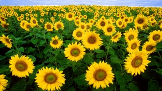 Sunflowers[1]